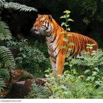 Tiger Standing in Rainforest , 6 Pictures Of Tiger Rainforest In Mammalia Category