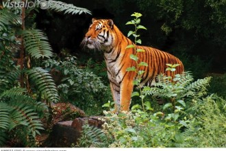 Tiger Standing in Rainforest in Cell