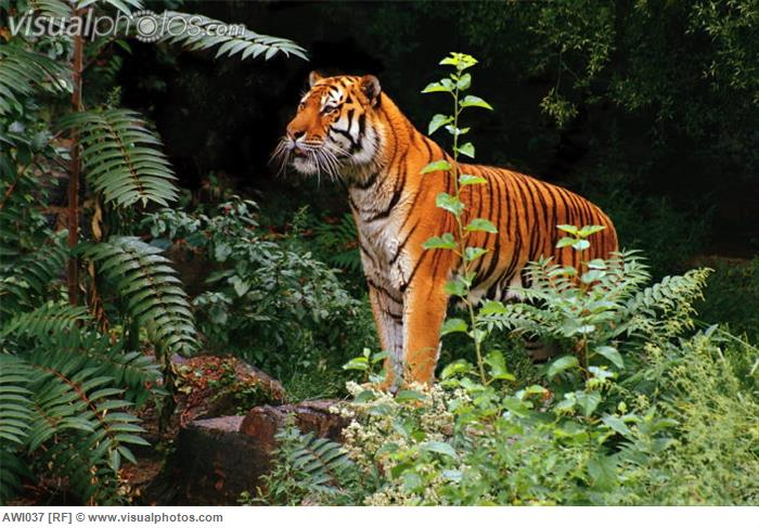 Mammalia , 6 Pictures Of Tiger Rainforest : Tiger Standing In Rainforest