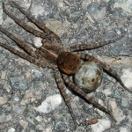 Tigrosa georgicola , 6 Big Brown Spider In Spider Category