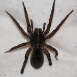 Tigrosa helluo the Large brown Spider , 6 Big Brown Spider In Spider Category