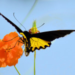 Troides Helena Cerberus , 6 Common Birdwing Butterfly Pictures In Butterfly Category