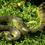 Tropical Rain Forest Reptiles , 6 Anaconda Rainforest Animals In Reptiles Category