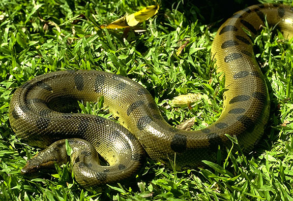 Reptiles , 6 Anaconda Rainforest Animals : Tropical Rain Forest Reptiles