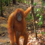 Tropical Rainforest Heritage of Sumatra , 7 Pictures Of Tropical Rainforest Primates In Primates Category