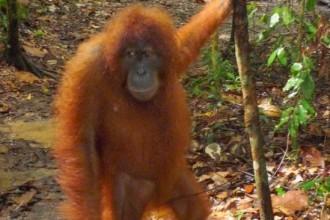 Tropical Rainforest Heritage Of Sumatra , 7 Pictures Of Tropical Rainforest Primates In Primates Category