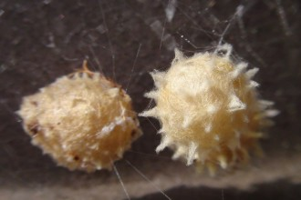 Two Brown Spider Egg Sacs , 9 Brown Spider Egg Photos In Spider Category