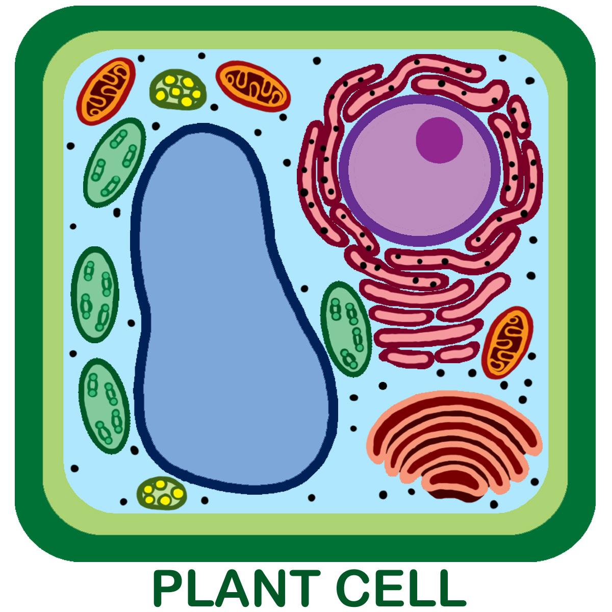 Unlabeled Plant Cell pic 1 : Biological Science Picture ...