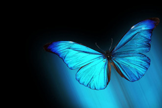 Vista Morpho Blue Butterfly Resolution in Cat