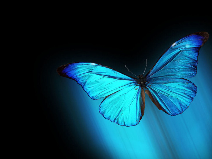 Butterfly , 6 Blue Morpho Butterfly Wallpapers : Vista Morpho Blue Butterfly Resolution