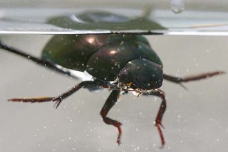 Water Scavenger Beetle in Cat