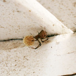 Widow Spider Egg Sac , 9 Brown Spider Egg Photos In Spider Category