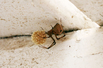 Widow Spider Egg Sac in Cell