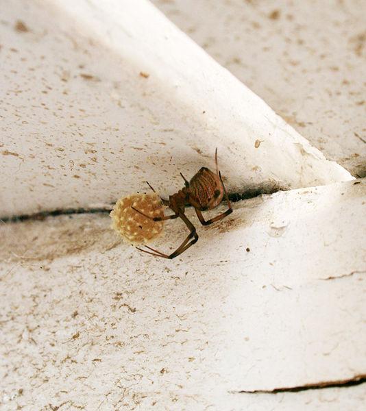 Spider , 9 Brown Spider Egg Photos :  Widow Spider Egg Sac