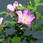 Wild Rose , 6 Wild Roses Plant In Plants Category