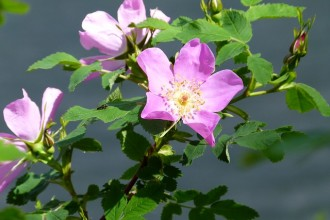 Wild Rose in Plants