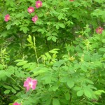 Wild Rose Bush , 6 Wild Roses Plant In Plants Category