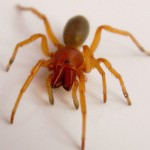 Woodlouse Spider , 6 Pictures Of Red And Brown Spider In Spider Category