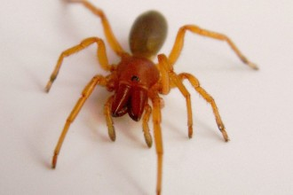 Spider , 6 Pictures Of Red And Brown Spider : Woodlouse Spider