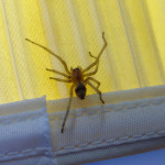 Yellow Sac Spider , 8 Yellow Sac Spider Pictures In Spider Category