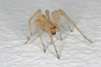 Yellow Sac Spider Bite in Skeleton