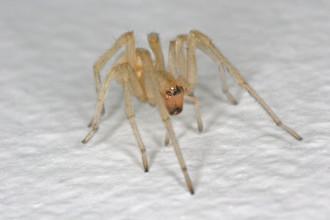 Yellow Sac Spider Bite in Environment