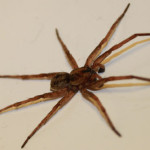 a Wolf Spider florida , 6 Brown Spider Florida In Spider Category
