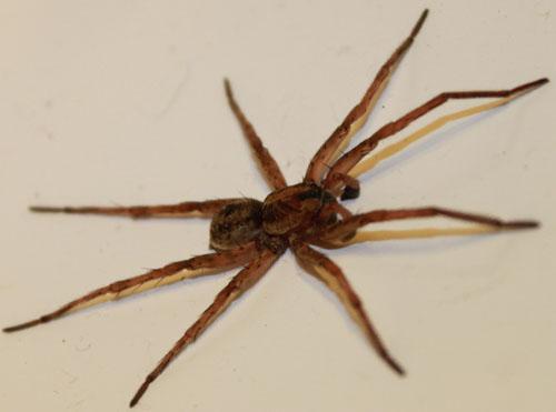 Spider , 6 Brown Spider Florida :  A Wolf Spider Florida