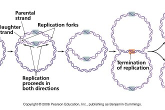 a bacterial dna replication in Butterfly