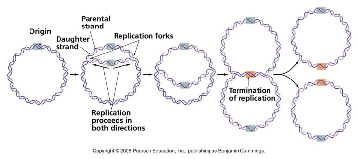 Cell , 4 Dna Replication Animation : A Bacterial Dna Replication