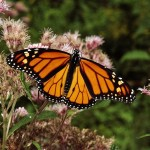 a monarch butterfly , 6 Monarch Butterflies In Butterfly Category