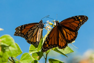 Activity Of The Monarch Butterfly , 7 What Does Monarch Butterfly Eat In Butterfly Category
