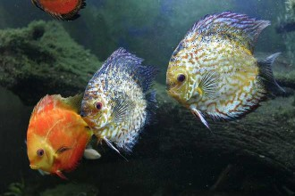 Amazon River Aquarium Fish , 6 Amazon River Fish In pisces Category