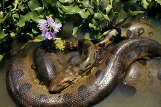 anaconda south america in Butterfly