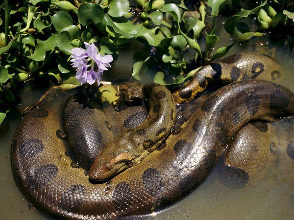 Reptiles , 6 Anaconda Rainforest Animals : Anaconda South America