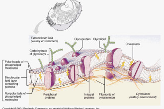 Animal Cell Membranes , 5 Pictures Of Animal Cell Membrane In Cell Category