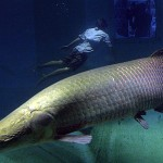 arapaima fish in the Amazon river , 6 Amazon River Fish In pisces Category