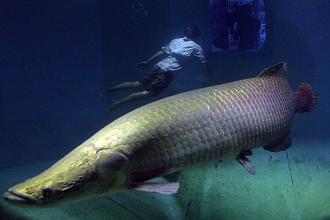 arapaima fish in the Amazon river in Plants