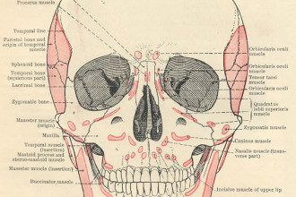 Facial Muscles Diagram , 4 Facial Muscles Anatomy In Muscles Category