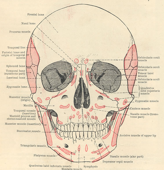 facial muscles diagram   4 facial muscles anatomy