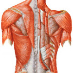 back muscle , 8 Muscle Pain In Back In Muscles Category