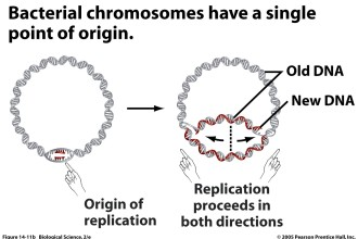 bacterial DNA Replication in Skeleton