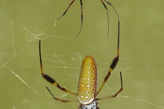 banana spider in Forest