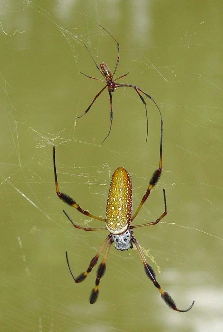 Spider , 6 Brown Banana Spiders : Banana Spider