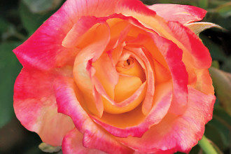 beauty modern hybrid tea rose in Genetics