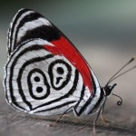 beautiful Eighty Eight Butterfly , 7 Pictures Of Eighty Eight Butterfly In Butterfly Category