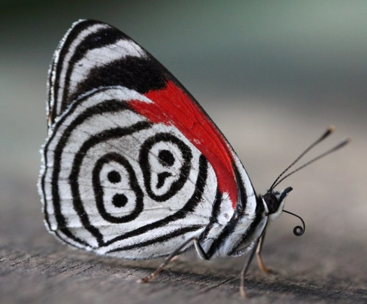 Butterfly , 7 Pictures Of Eighty Eight Butterfly : Beautiful Eighty Eight Butterfly