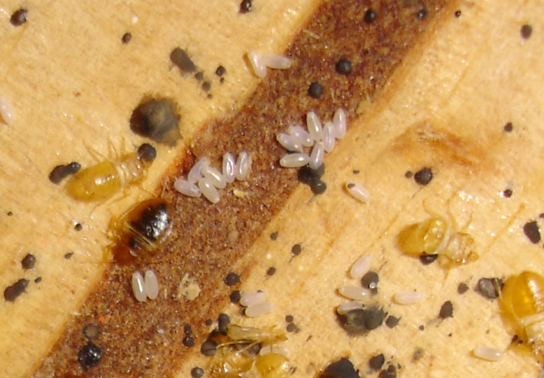 bed bug larvae 1