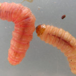 bed bug larval stage. , 6 Bed Bug Larvae Photos In Bug Category