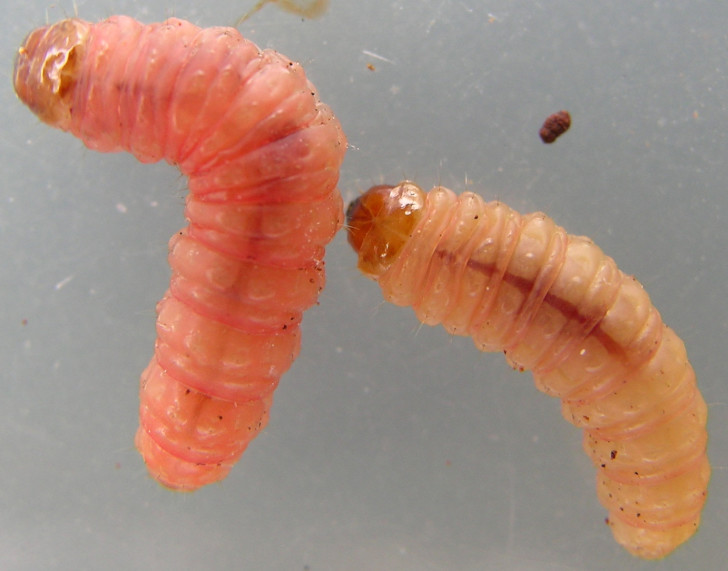 Bug , 6 Bed Bug Larvae Photos : Bed Bug Larval Stage.